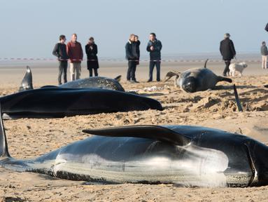 Warga menyaksikan paus pilot yang mati terdampar di Pantai Calais, Prancis, Senin (2/11). Enam dari 10 paus ditemukan sudah mati terdampar di pantai, sedangkan empat ekor paus berhasil diselamatkan petugas dan dikembalikan ke laut. (AFP/ Denis Charlet)