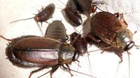 Kecoak Diploptera punctuate,satu-satunya spesies kecoak yang berkembang biak dengan cara melahirkan
