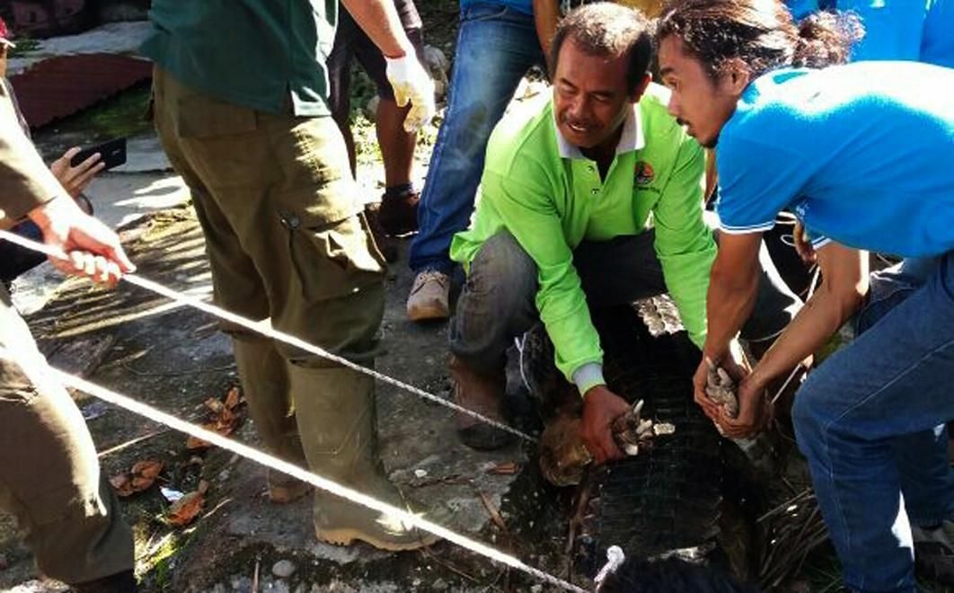 Petugas BBKSDA Riau mengevakuasi buaya sepanjang 2,5 meter dari rumah seorang warga Duri, Kabupaten Bengkalis. (Liputan6.com/M Syukur)