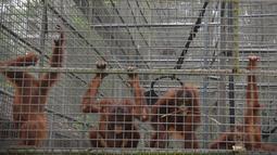 Aktivitas orangutan di pusat rehabilitasi Nyaru Menteng, Kalimantan Tengah, Selasa (17/9/2019). Belasan orangutan terserang infeksi saluran pernapasan akut (ISPA) baik yang berada di kandang maupun sedang mengikuti sekolah hutan. (Handout/Borneo Orangutan Survival Foundation/AFP)
