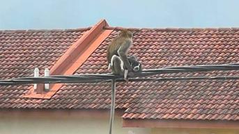 Viral Aksi Monyet Asyik Nongkrong di Kabel Listrik Usai Culik Anak Anjing