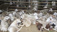 Sejumlah domba disiapkan untuk dipotong di Masjid Sunda Kelapa, Jakarta, Jumat (1/9). Panitia hewan kurban Masjid Sunda Kelapa menerima sebanyak 10 ekor sapi dan 46 ekor kambing untuk dibagikan kepada yayasan dan warga. (Liputan6.com/Immanuel Antonius)