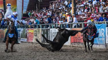 Seorang koboi menarik sapi dengan menunggangi kuda selama mengikuti kompetisi Coleo di Villavicencio, Kolombia pada 13 Oktober 2019. Acara olahraga tahunan tersebut melibatkan koboi untuk menaklukan seekor lembu jantan muda dengan menarik ekornya. (Juan BARRETO / AFP)