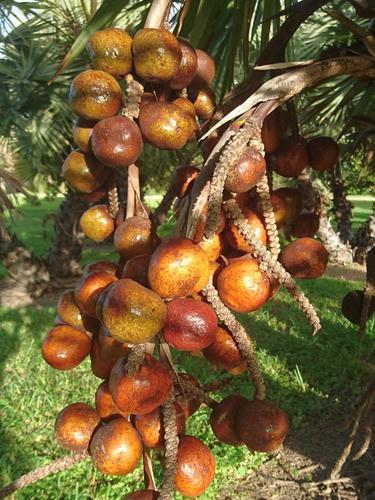 ilustrasi buah zuriat