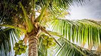 Ilustrasi buah kelapa (Photo by Pexels on Pixabay)