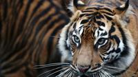 Ini adalah kali ketiga anak harimau Sumatera lahir di Kebun Binatang Chester, Inggris.