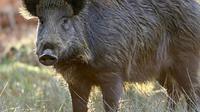 Iustrasi babi hutan (AP)