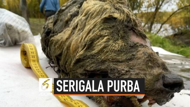 Kepala serigala purba ditemukan di Serbia. Serigala ini diperkirakan hidup 40 ribu tahun yang lalu.