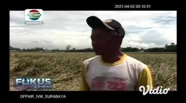 Jelang musim panen, tanaman padi di Desa Kertonegoro, Kecamatan Jenggawah, Kabupaten Jember justru diserang hama wereng, akibatnya petani gagal panen.