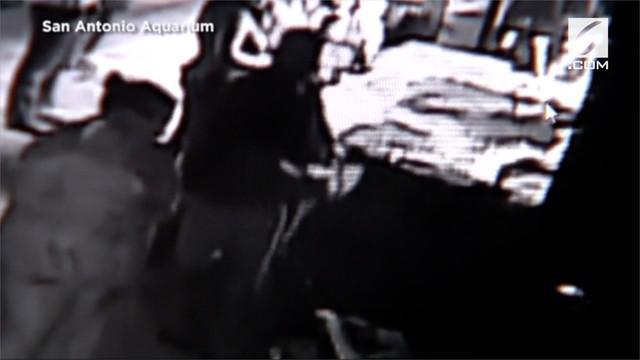 Dua orang tertangkap kamera saat mencuri seekor hiu berukuran kecil dari San Antonio Aquarium di Texas, Amerika Serikat.