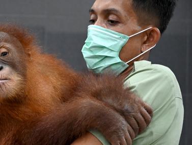 Gagal Diselundupkan, Bayi Orangutan Bon Bon Akan Dilepasliarkan