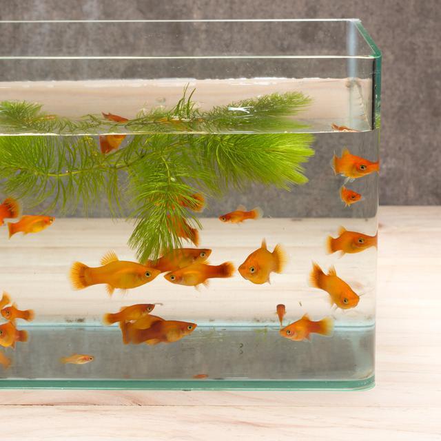 Macam Macam Ikan Hias Air Tawar Yang Populer Cocok Dipelihara Di Rumah Hot Liputan6 Com