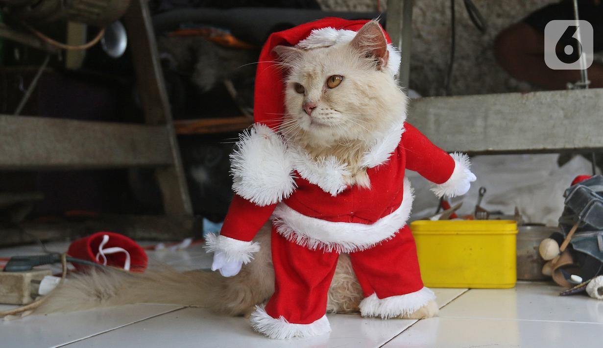 Seekor kucing menggunakan kostum santa claus di rumah industri di Desa Jampang, Kabupaten Bogor, Selasa (8/12/2020). Fredi Lugina Priadi merancang kostum unik untuk kucing seperti baju dokter atau superhero dengan harga yang berkisar dari Rp38 ribu hingga Rp1,5 juta. (Liputan6.com/Herman Zakharia)