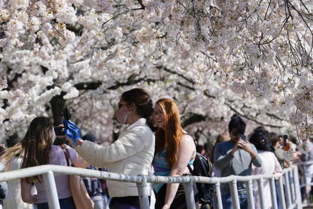 Orang-orang memotret pohon sakura Yoshino yang sedang mekar penuh di sekitar Tidal Basin di Washington, Selasa (30/3/2021).  Festival Bunga Sakura Nasional 2021 merayakan pemberian asli 3.000 pohon sakura dari kota Tokyo kepada masyarakat Washington di 1912. (AP Photo/Susan Walsh)