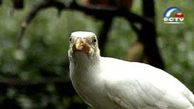 Beo Putih Melengkapi Koleksi Taman Burung News Liputan6 Com