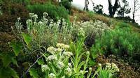 Edelweis jenis Anaphalis maxima tumbuh diantara tiga jenis bunga abadi lain di puncak Gunung Ciremai.Foto (Liputan6.com / Hendri Haryadi TNGC)