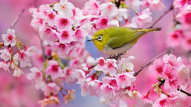 12 Foto Bunga Sakura Paling Cantik Dan