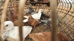 Sejumlah merpati berada di dalam kandangnya di kawasan Bukit Duri, Jakarta, Jumat (13/1). Habiskan waktu sore, sejumlah anak-anak bermain burung merpati di kawasan Bukit Duri. (Liputan6.com/Yoppy Renato)