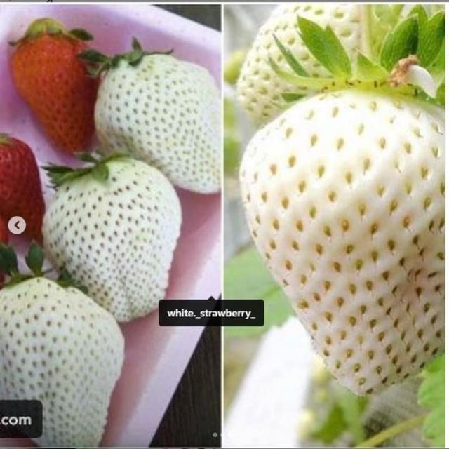 Stroberi Putih Seharga Rp140 Ribu Per Buah, Apa Kelebihannya?