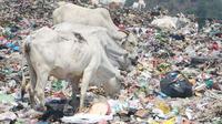 Sejumlah sapi berkeliaran dan memakan sampah di TPA Jatibarang, Kota Semarang, beberapa waktu lalu. (foto: Liputan6.com / Semarangpos.com/Imam Yuda S)