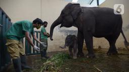 Keeper memberi pakan untuk bayi gajah Sumatera (Sumatran elephant) dalam kandangnya di Taman Safari Indonesia Cisarua, Bogor, Jawa Barat, Rabu (13/5/2020). Bayi gajah jantan bernama Covid itu hasil perkawinan gajah Sumatera, Nina dan Kodir. (merdeka.com/Imam Buhori)