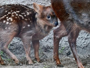 Bayi Rusa Langka di Kebun Binatang Los Angeles