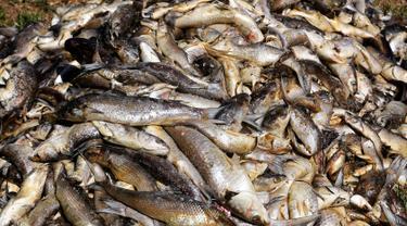Ribuan ikan yang mati menumpuk di salah satu sudut Laguna Etang de Berre, dekat Marseille, Prancis (1/7/2019). Gelombang panas selama sepekan di laguna menyebabkan penurunan kadar oksigen yang mengakibatkan kematian beberapa ton ikan. (AFP Photo/Boris Horvat)