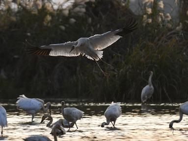 Kawanan burung migran termasuk burung jenjang putih (white crane) dan angsa mencari makan di lahan basah kawasan konservasi burung jenjang putih Wuxing di tepi Danau Poyang di Nanchang, Provinsi Jiangxi, China timur, pada 18 November. (Xinhua/Zhou Mi)