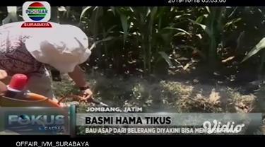 Serangan hama tikus yang merusak puluhan hektare tanaman jagung di Kecamatan Sumobito, Jombang, Jawa Timur, membuat petani geram. Guna membasmi hewan pengerat ini, petani ramai-ramai melakukan pengasapan dengan tabung elpiji dan belerang.