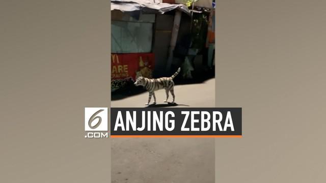 Seekor anjing berkeliaran dengan tubuh yang menyerupai zebra di Filipina. Penampakan ini direkam oleh warga yang melintas.