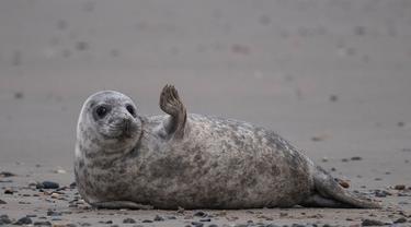 Seekor anjing laut abu-abu beraktivitas di pantai Pulau Helgoland, Jerman, 5 Januari 2020. Memasuki bulan November hingga Januari, ratusan anjing laut abu-abu menggunakan Pulau Helgoland untuk melahirkan anak-anak mereka. (John MACDOUGALL/AFP)