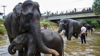 Gajah-gajah Sumatera dimandikan oleh pawang mereka di sungai di Koridor Satwa Trumon, Kawasan Ekosistem Leuser, Aceh Selatan pada 15 April 2019. Gajah merupakan hewan mamalia darat terbesar yang masih hidup sampai saat ini. (CHAIDEER MAHYUDDIN / AFP)