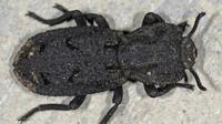 Kumbang Phloeodes Diabolicus Ini Disebut Tak Mati Dihantam Mobil. (Foto: Bugguide.net)