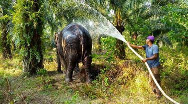 Gajah betina terakhir di kantong Rokan Hilir disemprot setelah dievakuasi dari habitat terakhirnya.