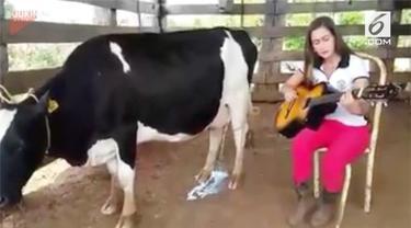 Seekor sapi perah mengeluarkan susu ketika mendengarkan suara gitar.