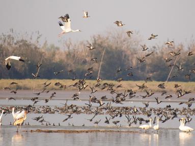 Kawanan burung migran terbang di atas Danau Dongting Barat, Changde, Provinsi Hunan, China, 11 November 2020. Danau Dongting Barat, beserta lahan basahnya yang memiliki kekayaan hayati, telah menjadi jalur utama bagi kawanan burung yang bermigrasi. (Xinhua/Chen Sihan)