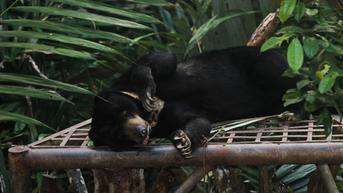 Pulang dari Ladang, Lansia di Pesisir Selatan Diserang Beruang Madu