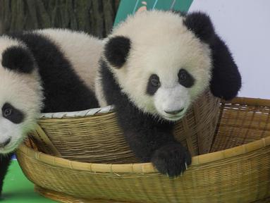 Foto pada 29 September 2020 ini menunjukkan anak-anak panda raksasa yang tampil perdana di Pusat Penangkaran dan Penelitian Panda Raksasa Chengdu di Provinsi Sichuan, China. Beberapa ekor anak panda raksasa tampil untuk pertama kalinya di depan publik pada Selasa (29/9). (Xinhua/Chen Juwei)
