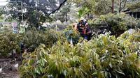 Sentra bibit durian Alasmalang, Kemranjen, Banyumas. (Foto: Liputan6.com/Muhamad Ridlo)