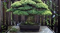 Bonsai ini pertama kali ditanam pada tahun 1625 dan masih hidup hingga kini.
