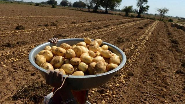 Ilustrasi kentang (AFP)