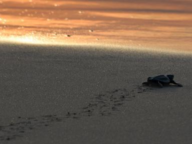 Seekor bayi penyu menuju laut setelah dilepaskan saat matahari terbenam di pantai Lhoknga provinsi Aceh (31/1/2020). Pelepasan bayi tukik penyu tersebut wujud kepedulian terhadap lingkungan. (AFP Photo/Chaideer Mahyuddin)
