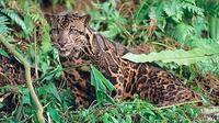 Belum banyak penelitian tentang macan dahan di Indonesia. Keluarga kucing besar ini seolah terlupakan, padahal statusnya butuh perhatian.