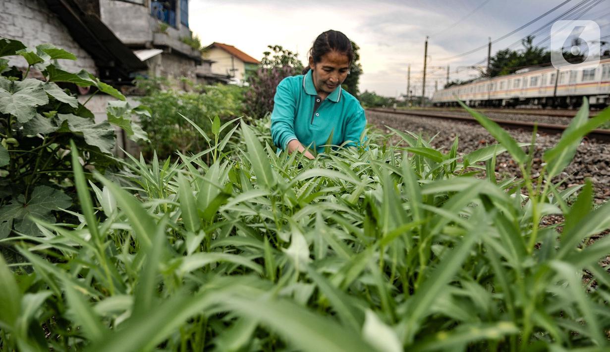 Wiwin (51) melakukan perawatan tanaman sayur di Kebun Kesehatan, Cipinang Lontar, Jakarta, Senin (8/3/2021). Sejak awal pandemi Covid-19, Wiwin dibantu beberapa warga dan petugas PPSU Kelurahan Cipinang menyulap lahan kumuh di bantaran rel kereta menjadi kebun sayuran. (merdeka.com/Iqbal S Nugroho)
