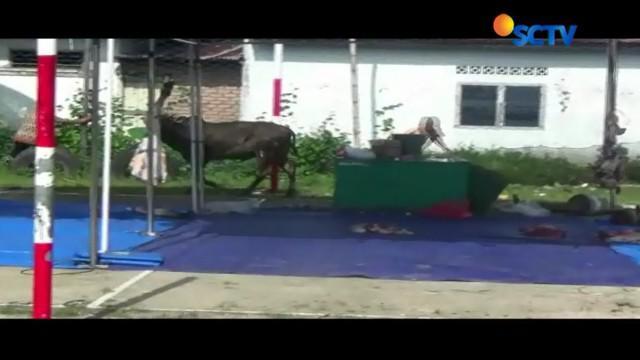Seekor sapi kurban ngamuk saat mau disembelih di Pariaman, Sumatera Barat.