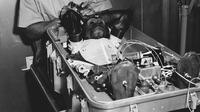Simpanse bernama Enos saat dipersiapkan untuk diluncurkan melalui misi Mercury-Atlas 5. (NASA)