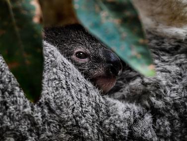 Bayi Koala