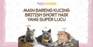 Main Bareng Kucing British Short Hair yang Super Lucu