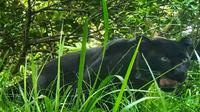 Penampakan Macan Tutul Jawa tertangkap kamera jebakan di kawasan Gunung Ciremai. Foto (Istimewa)