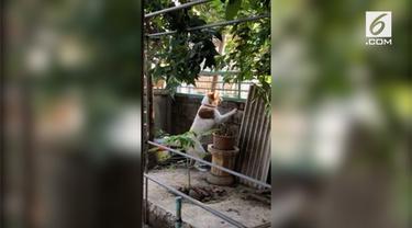 Seekor anjing campuran Siberian Husky degan Thai Bangkaew menunjukkan reaksi yang tidak biasa. Ia gelisah saat melihat anjing betina tetangga pergi.